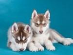 Обява Сибирското хъски кученца с малка такса осиновяване