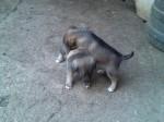 Обява Продавам кученца чистокръвни каракачанки
