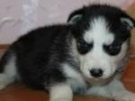 Обява Сибирското хъски кученца с малка такса осиновяване, .