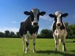 Обява Продавам крави и телета