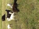 Обява СПЕШНО се продава стадо крави и кози