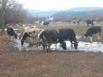 Обява Продавам млечни крави