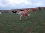 Обява Продавам дойни крави джерсей