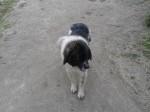 Обява Продавам овчарско куче