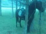 Обява Кон кастрат за езда