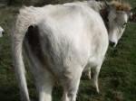 Обява Продавам 2бр. крави Сиво искърско