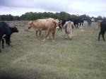 Обява Продавам стадо крави