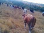 Обява продавам бикове за разплод и клане