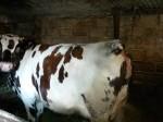 Обява Продавам бременна крава