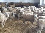 Обява Продавам овце