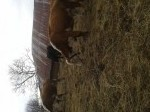 Обява Продавам крави Херефорд