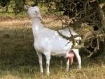 Обява Продавам козе мляко и сирене