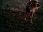 Обява продавам крави юнички и бикове