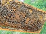 Обява Продавам кошери с пчели- Благоевград 0889 15 18 81