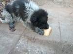 Обява Каракачанки, БОК, Българско овчарско куче