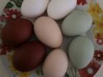 Обява Яйца и кокошки Фаверол, Маранс, Билефелдер и Араукана