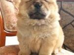 Обява Продавам живи плюшени играчки - кученце чау-чау