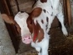Обява Продавам теле!!!