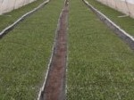 Обява Произвеждам разсад за зеле, праз и други зеленчуци