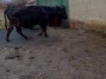 Обява bremena krava