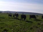 Обява Продавам стелни крави