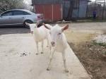 Обява Саански ярета и кози