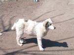 Обява Продавам малки кученца
