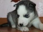 Обява Сибирското хъски кученца с малка такса осиновяване>.