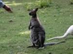 Обява Продавам кенгуру