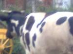 Обява продавам елитни крави