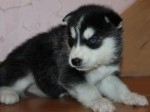 Обява Сибирското хъски кученца с малка такса осиновяване,
