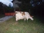 Обява Продавам червено шарена крава и юница