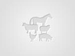 Обява Продава крава пред отелване