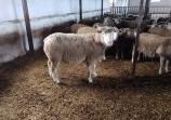 Обява Продавам агнета, овце и кочове