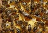 Обява Продавам Пчели Отводки
