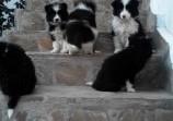 Обява Кученца бордърколи
