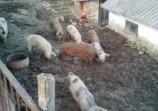 Обява Домашни прасета