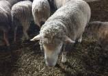 Обява Продавам овце и кочове