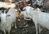 Обява Продавам кози