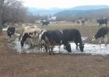 Обява Продавам млепни крави