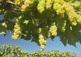 Обява Продава грозде - Мускат отонел