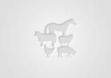 Обява Продавам стопанство с крави, юници, телета Абердин Ангус