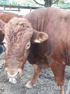 продавам бик за разплод, порода лимузин