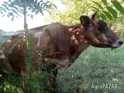 Крава и теле Жерсей