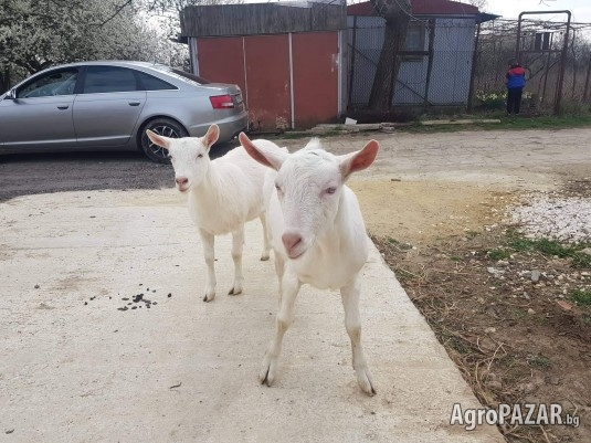 Саански ярета и кози