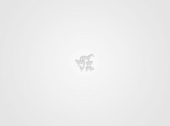 Англо-Нубийски кози, ярета ...